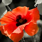 Poppy by Andy Smith