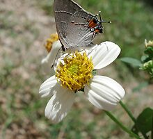 Hairstreak on Spanish Needles by May Lattanzio