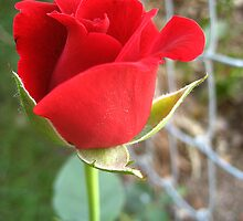 My First Red Rose by Bellavista2