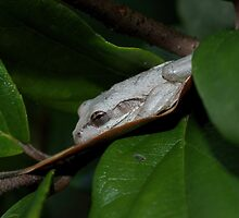 Cuban Tree Frog by Pirate77