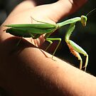 Praying Mantis by Elena Martinello