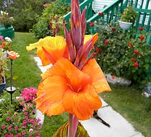 Canna Lily by Doreen