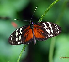 Heliconius Hecale Butterfly by Pam Moore