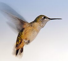 Rufous Hummingbird - Female by Ryan Houston