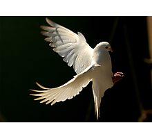 Dove Landing Photographic Print