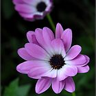 Purple and White by Colleen Drew