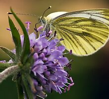 Small White (Pieris rapae) by Steve  Liptrot