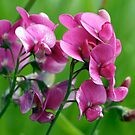 Magenta Pea Flowers by Wolf Read