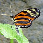 BUTTERFLY POSE # 10 ( Tiger Longwing ) by Johan  Nijenhuis