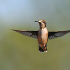 Ruby-throated Hummingbird - Female by Lynda   McDonald