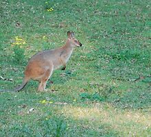 Upper Lansdowne Wallaby by Graham Mewburn