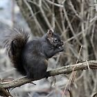 Black Squirrel by Alyce Taylor