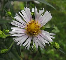 Panicled Aster- Aster simplex by Tracy Faught