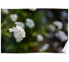 White forget-me-not Poster