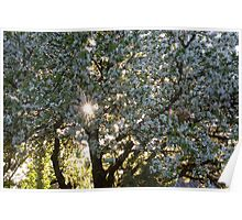 The beauty of an apple tree Poster