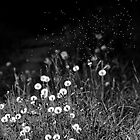 Dandelions in black&white by Mariann Rea