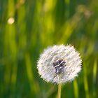 The lone dandelion by Mariann Rea