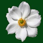 "Anemone x hybrida ""Honorine Jobert"" by Philip Mitchell"