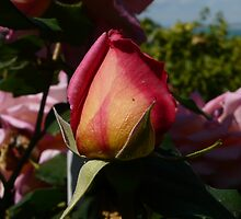 Closed Rose in The Garden of Dior by MissOlivia