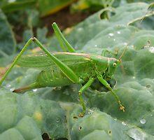 Great Green Bush Cricket in full by GardeningArcher