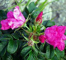 Rambling Rose by Jan Landers