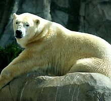 polar bear by noddy13
