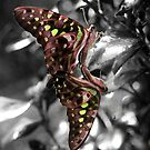 Graphium macfarlanei - Green Triangle (in black and white).jpg by Forto