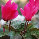 Cyclamen sp (Mt Wilson Spring 2009) by Julie Sherlock