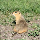 Curious Prairie Dog by Alyce Taylor