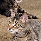 Two Tabby Cats by Nicole I Hamilton