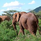 Samburu Elephants by benstrong