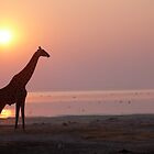 Giraffe at sunset, Etosha national park, namibia by benstrong
