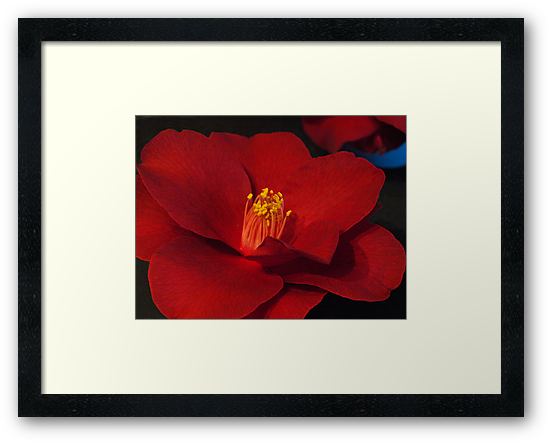Camellia #1 - National Show, Warragul,  by Bev Pascoe