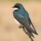 Tree Swallow by Wayne Wood