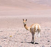 Vicuna high in the altiplano by parischris