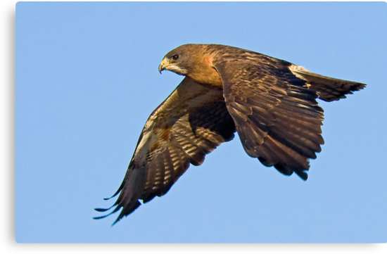 082909 Swainson's Hawk by Marvin Collins