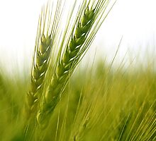 WHEAT by A P Singh