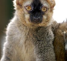 Lemur Look by ApeArt