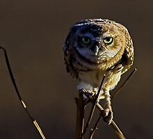081609 Burrowing Owl by Marvin Collins