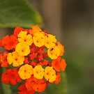 lantana by Matt  Williams