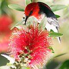 Myzomela sanguinolenta - Scarlet Honeyeater.jpg by Forto