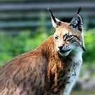 lynx cat by wendywoo1972