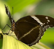 Blue-Banded Diadem by Jeff VanDyke