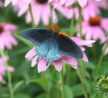 Coneflowers and pipevine swallowtail by Alice Kahn