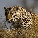 Female Leopard - Makwela by Michael  Moss