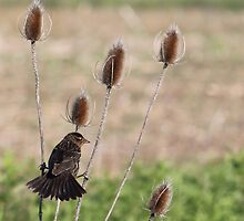 A blackbird gets a grip on teasel by Alice Kahn