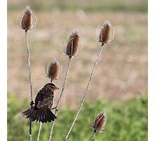 A blackbird gets a grip on teasel Photographic Print