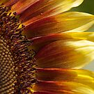 Sunflower by psnoonan