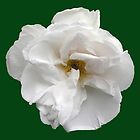 A white, white rose in June by Philip Mitchell