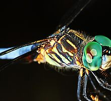 Dragonfly_Blue_Dasher by Chip  Ford